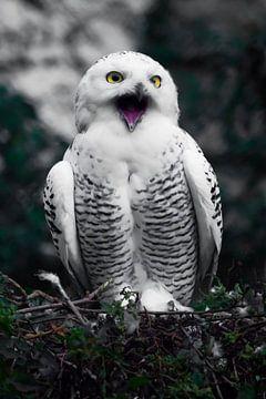 Mund auf, schreien. Weiße Polareule im Sommer, wilder schöner Greifvogel, ausdrucksstarke gelbe Auge von Michael Semenov