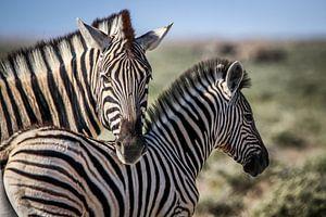 Schitterende Zebra's op Afrikaanse vlaktes