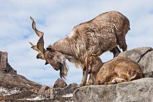Bergziege mit großen Hörnern (Markhur) steht auf einem Felsen, zu ihren Füßen ein junges Ziegenweibc
