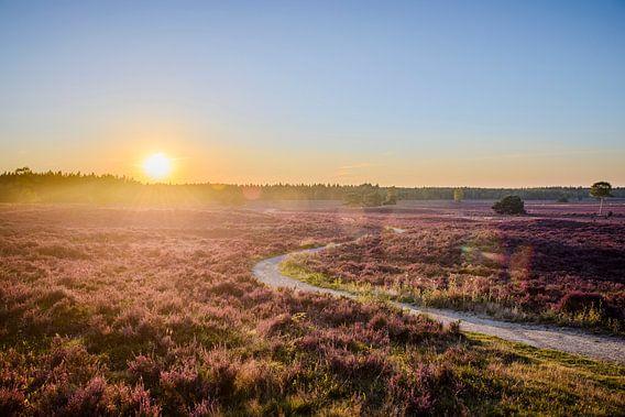 Blühende Heidekrautanlagen in einem Naturreservat während des Sonnenuntergangs