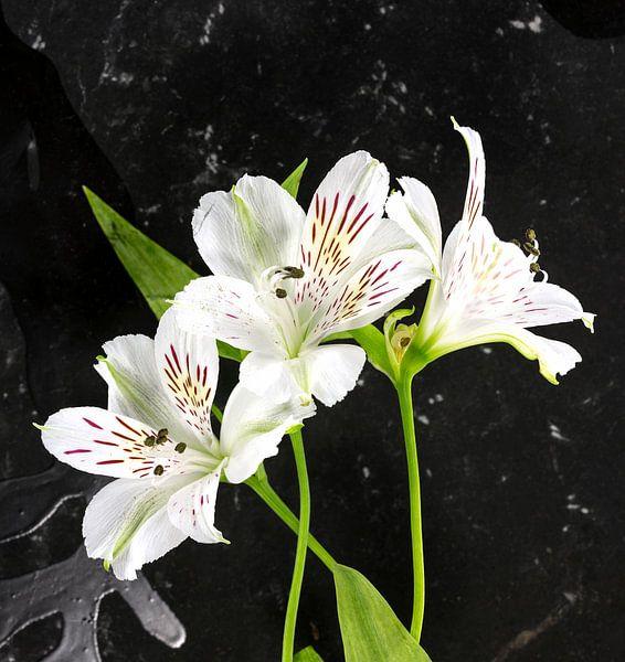 witte alstroemeria  bloemen  van Compuinfoto .