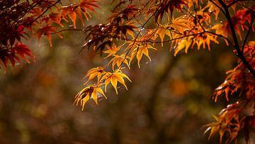 Feuilles en contre-jour aux couleurs de l'automne sur Bert Nijholt
