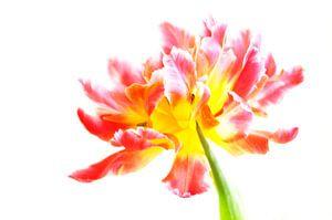 Tulip van Alice Sies