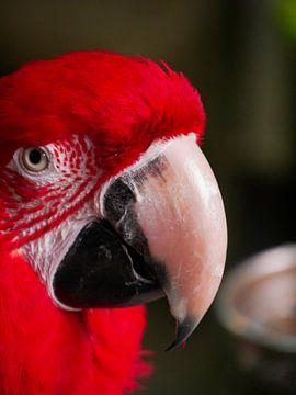 Papagaai  von Vitamine Sightsee
