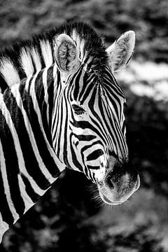 Zebra sur Jan van Reij