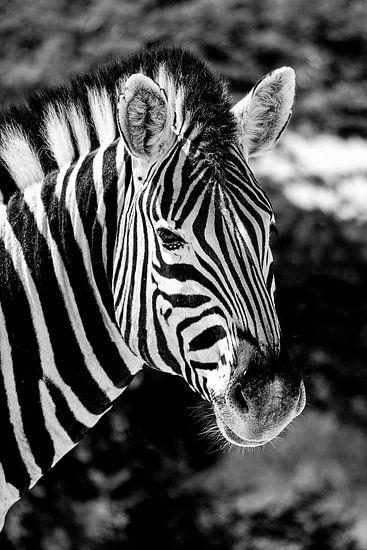 Zebra van Jan van Reij