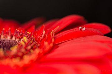 Fleur rouge avec goutte sur