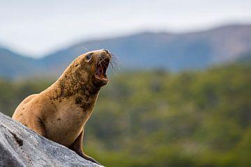 Chili - geeuw van een jonge zeeleeuw van Jack Koning
