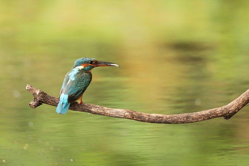 IJsvogel van Erik Veltink