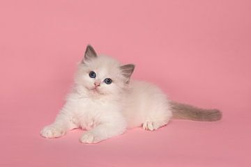 Niedliche ragdoll Kätzchen liegend auf einem rosa Hintergrund von Elles Rijsdijk