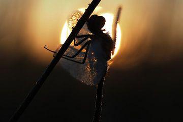Libel in tegenlicht tijdens zonsopkomst.