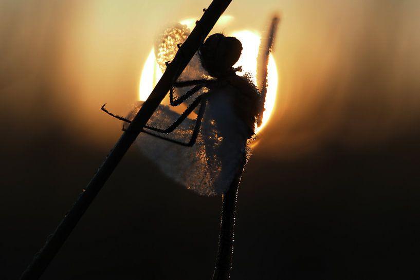 Libel in tegenlicht tijdens zonsopkomst. van Astrid Brouwers