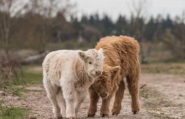 Schotse Hooglander kalfjes blond en roodbruin van Ans Bastiaanssen