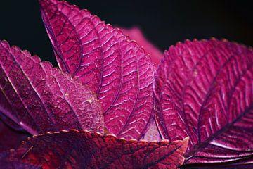 Roze/paarse plant uit Indonesië van Julian Oude Maatman