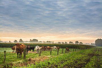 Kühe am frühen morgen von Edith Albuschat