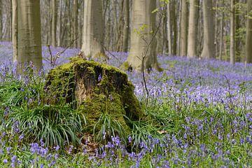 Blauwe wilde hyacinten in het Hallerbos van Barbara Brolsma