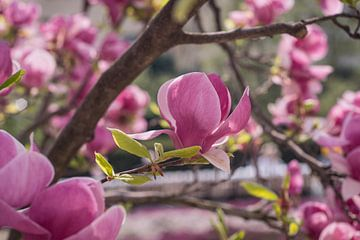 Magnolien von Lizet Wesselman