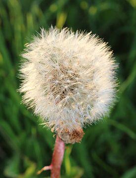 Pluffball von Rosalie Broerze