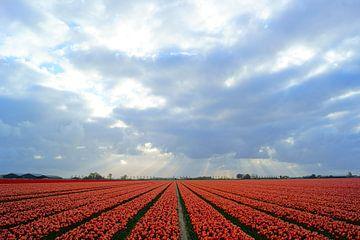Bollenveld met rode tulpen van Michel van Kooten