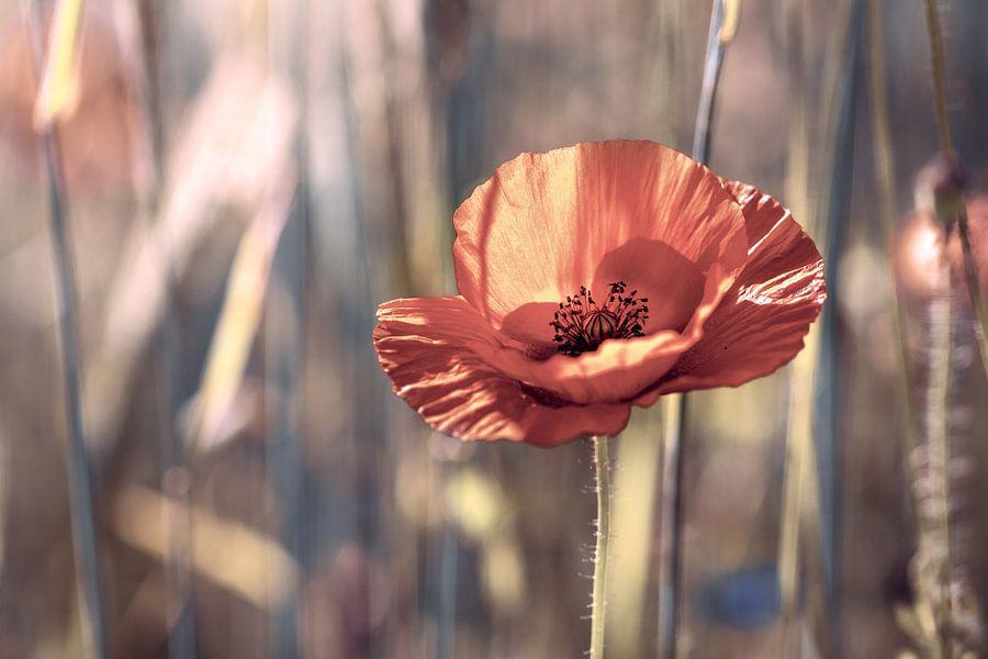 poppy in the  cornfield van Kurt Krause