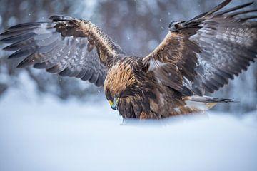 De Steenarend. Aquila chrysaetos van