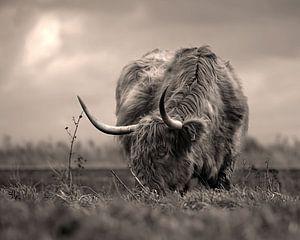 schottischer Highlander von ilona van Bakkum