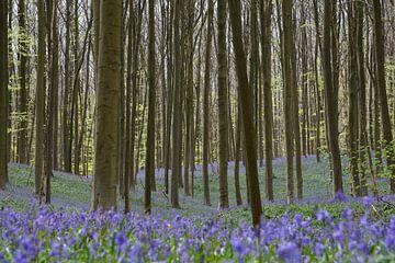 Blauwe hyacinten in het Hallerbos van Barbara Brolsma
