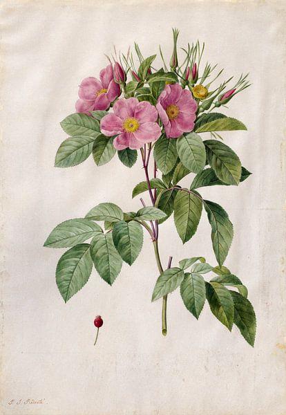 Wilde roos, Henry Joseph Redouté - 1817 van Het Archief