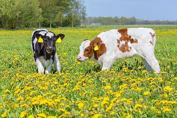 Twee kalfjes in Nederlandse bloemenweide met bloeiende paardenbloemen van Ben Schonewille