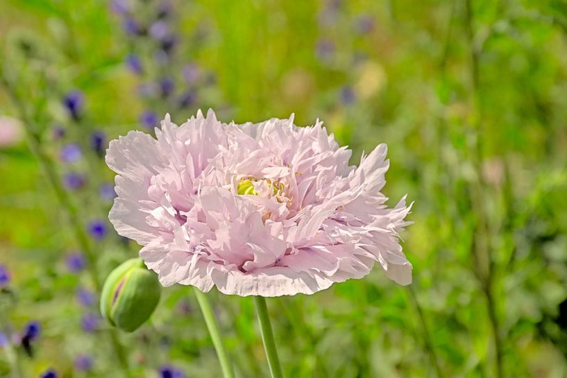 Pavot rose bulbeux sur Kristof Lauwers