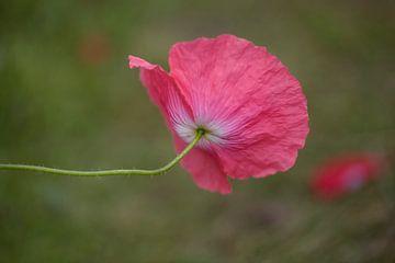 Poppy van Janny Kleijn