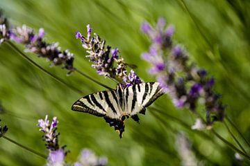 Een vlinder op Lavendel van Kelvin Middelink