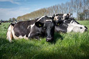 Hollandse melkkoeien van
