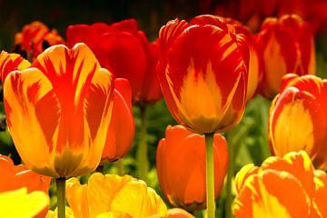 Les tulipes à leur meilleur sur Peter Bartelings