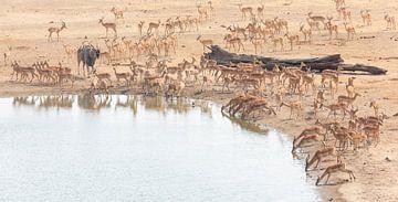 Elch-Antilope unter Impalas von Anja Brouwer Fotografie