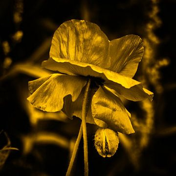 poppy gold sur Yvonne Blokland