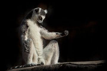 le lémurien à queue rousse dans l'obscurité (fond noir) s'assoit comme s'il était engagé dans une pr sur Michael Semenov