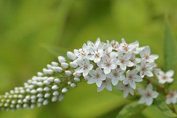Witte vlinderstruik of sierheester, Buddleja, witte bloemetjes van Ronald Smits