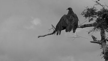 Zwarte adelaar (black eagle) van Loraine van der Sande