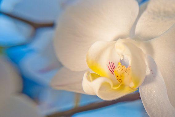 Close-up Orchidee van Pieter van Roijen