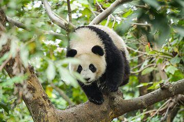 Panda im Baum von Kenji Elzerman