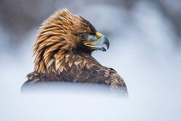 De Steenarend. Aquila chrysaetos van Gert Hilbink