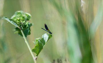 Blaue Libelle sitzt  auf einem Grashalm vor unscharfem Hintergrund mit Textfreiraum von Hans-Jürgen Janda