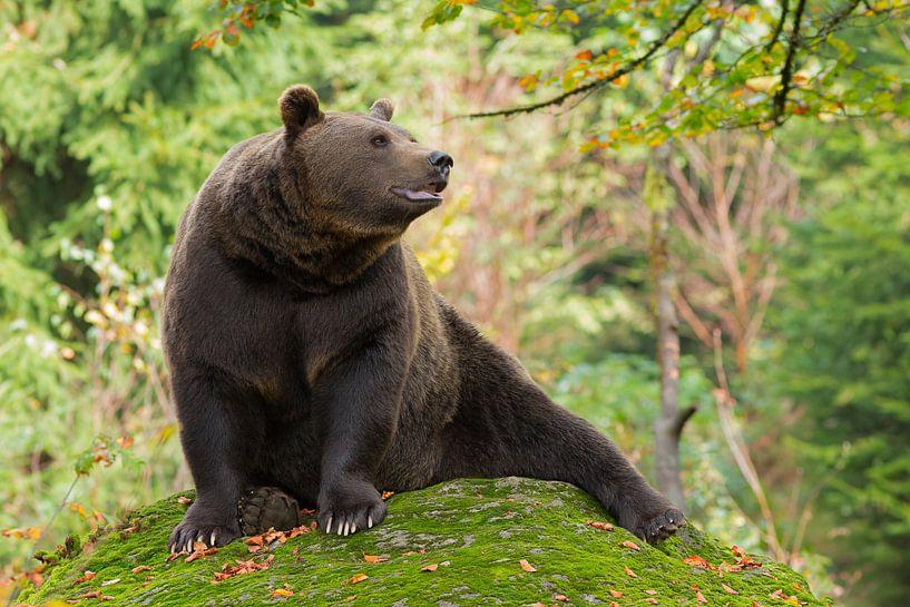 Bruine beer in het Bayerischer Wald. van Rob Christiaans
