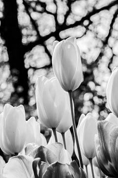 Hollandse tulpen in zwartwit van Leontien van der Willik-de Jonge