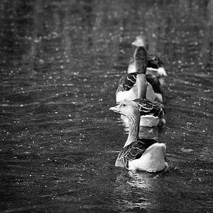 Zwemmende ganzen van