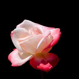 Roze roos op zwarte achtergrond van W J Kok