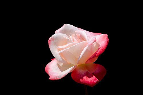 Roze roos op zwarte achtergrond van