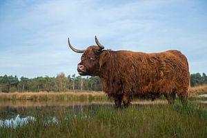 Impressive Highland cattle ( Bos primigenius taurus ) in natural habitat, moor, moorland, marshland,