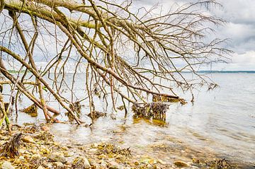 Vejle Fjord - Omgewaaide boom in het water von Tony Buijse